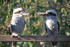 Koppel Kookaburra's